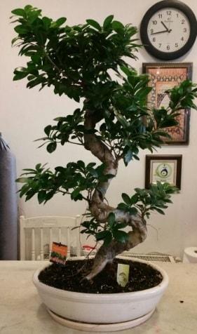 100 cm yüksekliğinde dev bonsai japon ağacı  Aydın İnternetten çiçek siparişi
