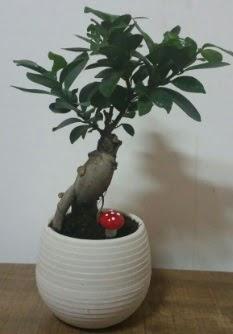 Bonsai japon ağacı saksı çiçeği  Aydın çiçek gönderme sitemiz güvenlidir