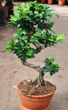 Orta boy bonsai saksı bitkisi  Aydın internetten çiçek siparişi
