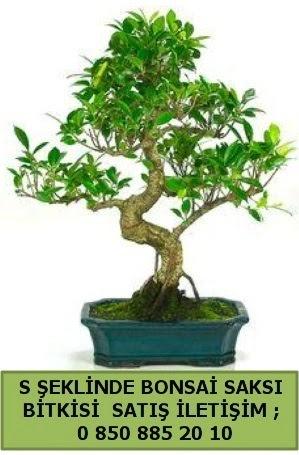 İthal S şeklinde dal eğriliği bonsai satışı  Aydın çiçek gönderme