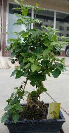 Bonsai japon ağacı saksı bitkisi  Aydın çiçek siparişi vermek