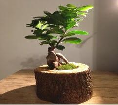 Doğal kütükte Bonsai japon ağacı satışı  Aydın internetten çiçek satışı