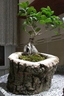 Ahşap kütük içerisinde ginseng bonsai  Aydın internetten çiçek siparişi