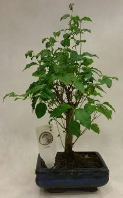 Minyatür bonsai japon ağacı satışı  Aydın çiçekçi telefonları