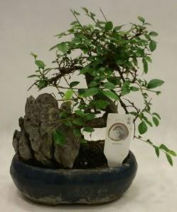 İthal 1.ci kalite bonsai japon ağacı  Aydın çiçek satışı