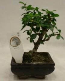 Küçük minyatür bonsai japon ağacı  Aydın çiçek gönderme