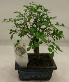 Minyatür ithal japon ağacı bonsai bitkisi  Aydın çiçek satışı
