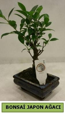 Bonsai japon ağacı saksı bitkisi  Aydın çiçek servisi , çiçekçi adresleri