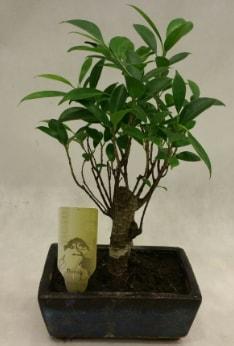Japon ağacı bonsai bitkisi satışı  Aydın çiçekçi telefonları