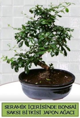Seramik vazoda bonsai japon ağacı bitkisi  Aydın çiçek siparişi sitesi