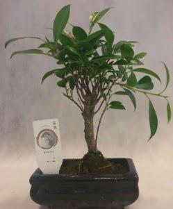 Bonsai japon ağacı bitkisi satışı  Aydın çiçek gönderme sitemiz güvenlidir