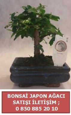 Japon ağacı minyaür bonsai satışı  Aydın çiçek satışı