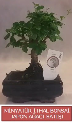 Küçük görsel bonsai japon ağacı bitkisi  Aydın çiçek , çiçekçi , çiçekçilik