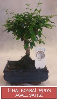 İthal küçük boy minyatür bonsai ağaç bitkisi  Aydın çiçekçi telefonları