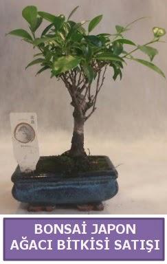 İthal Bonsai japon ağacı bitkisi satışı  Aydın İnternetten çiçek siparişi