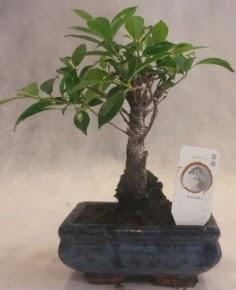 Bonsai ağacı japon ağaç bitkisi  Aydın çiçek yolla