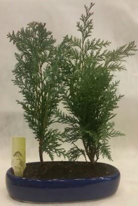 SINIRLI SAYIDA Selvi Ağacı bonsai ikili  Aydın çiçekçi telefonları