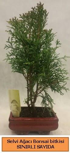 Selvi ağacı bonsai japon ağacı bitkisi  Aydın çiçek satışı