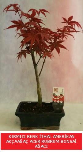İTHAL ACER RUBRUM BONSAİ AĞACI  Aydın çiçek gönderme sitemiz güvenlidir