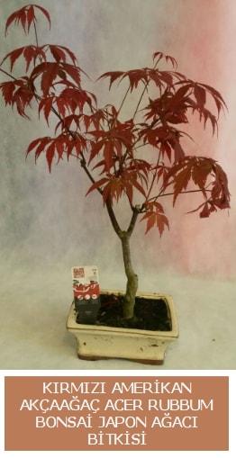 Amerikan akçaağaç Acer Rubrum bonsai  Aydın uluslararası çiçek gönderme