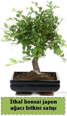 İthal bonsai saksı çiçeği Japon ağacı satışı  Aydın İnternetten çiçek siparişi