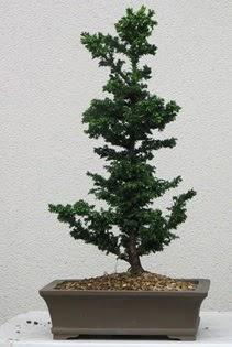 Çam ağacı bonsai bitkisi satışı  Aydın çiçekçi telefonları