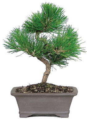 Çam ağacı bonsai japon ağacı bitkisi  Aydın çiçek gönderme