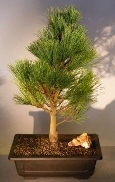 Çam ağacı japon ağacı bitkisi bonsai  Aydın çiçekçi telefonları