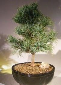 Çam ağacı bonsai bitkisi satışı  Aydın ucuz çiçek gönder