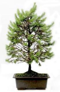 *** STOKTA YOK - Çam ağacı bonsai bitkisi satışı  Aydın cicekciler , cicek siparisi