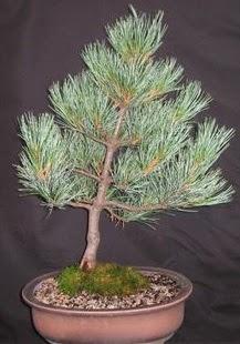 Bonsai çam ağacı japon ağacı bitkisi  Aydın çiçek siparişi sitesi