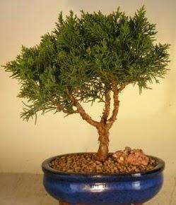 Servi çam bonsai japon ağacı bitkisi  Aydın çiçek yolla