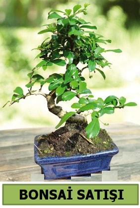 Çam bonsai japon ağacı satışı  Aydın çiçek satışı