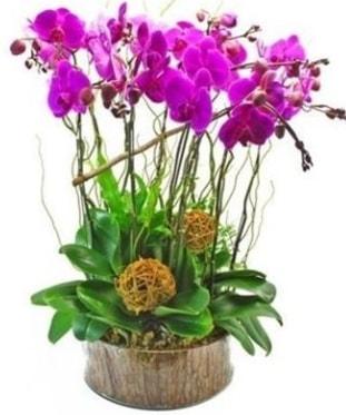 Ahşap kütükte lila mor orkide 8 li  Aydın internetten çiçek satışı