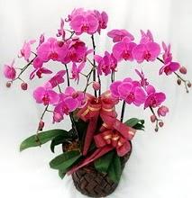 Sepet içerisinde 5 dallı lila orkide  Aydın ucuz çiçek gönder