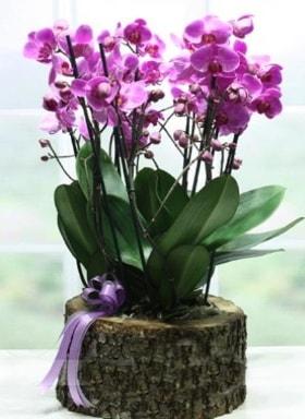 Kütük içerisinde 6 dallı mor orkide  Aydın ucuz çiçek gönder
