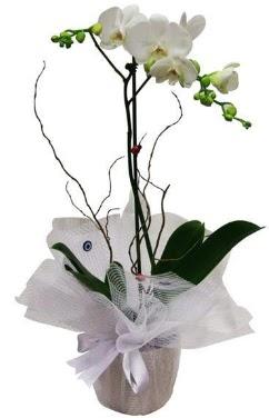 Tek dallı beyaz orkide  Aydın cicek , cicekci