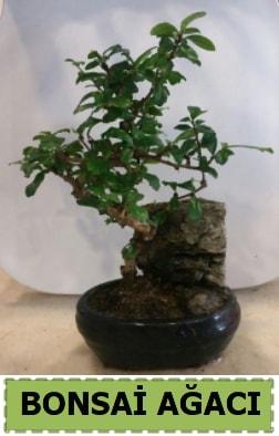 Bonsai ağacı japon ağacı satışı  Aydın hediye çiçek yolla