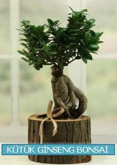 Kütük ağaç içerisinde ginseng bonsai  Aydın çiçek gönderme sitemiz güvenlidir