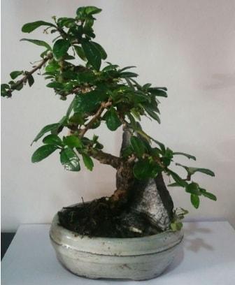 S şeklinde ithal bonsai ağacı  Aydın çiçek yolla