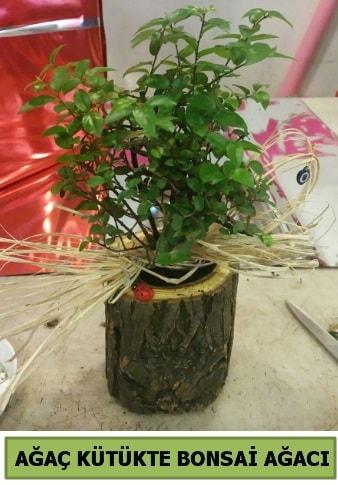 Doğal ağaç kütük içerisinde bonsai ağacı  Aydın çiçek gönderme sitemiz güvenlidir