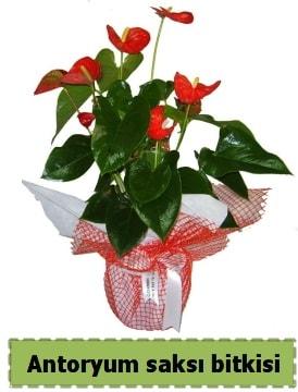 Antoryum saksı bitkisi satışı  Aydın çiçek , çiçekçi , çiçekçilik