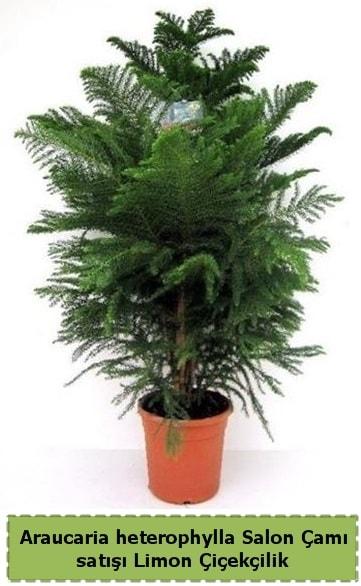 Salon Çamı Satışı Araucaria heterophylla  Aydın çiçek satışı