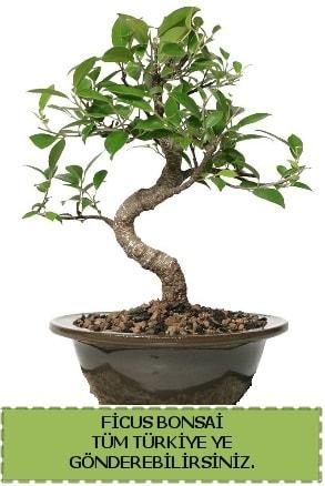 Ficus bonsai  Aydın çiçek gönderme sitemiz güvenlidir