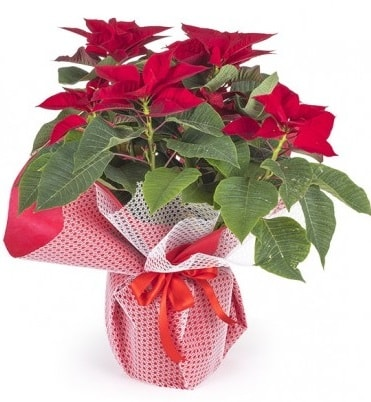 Atatürk çiçeği saksı bitkisi  Aydın çiçek gönderme sitemiz güvenlidir