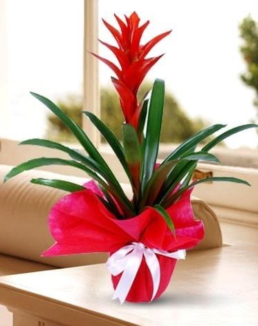 Guzmanya Saksı Çiçeği  Aydın çiçek yolla