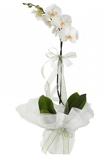 Tekli Beyaz Orkide  Aydın hediye çiçek yolla