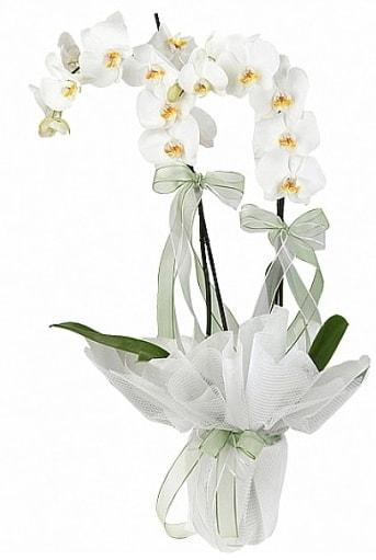 Çift Dallı Beyaz Orkide  Aydın anneler günü çiçek yolla