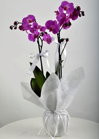 Çift dallı saksıda mor orkide çiçeği  Aydın çiçek siparişi vermek