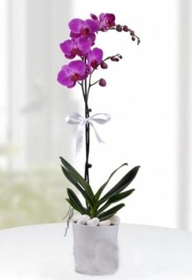 Tek dallı saksıda mor orkide çiçeği  Aydın çiçekçiler